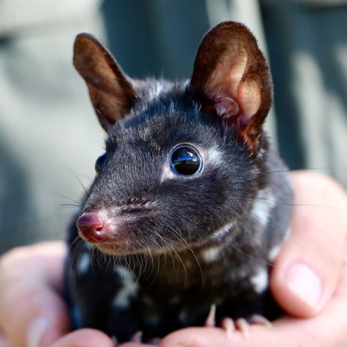 Adopt a Quoll