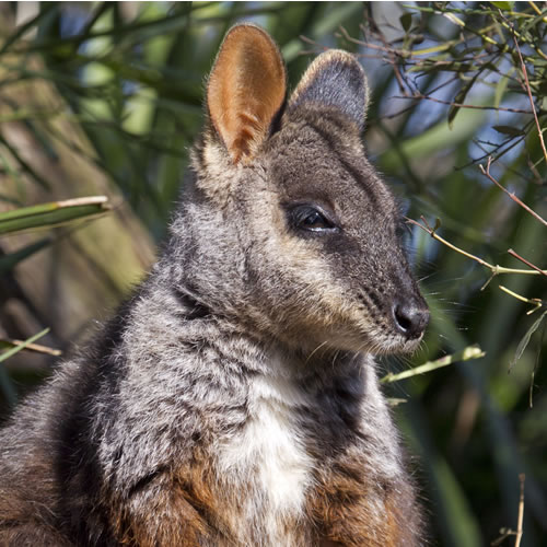 Adopt a Wallaby