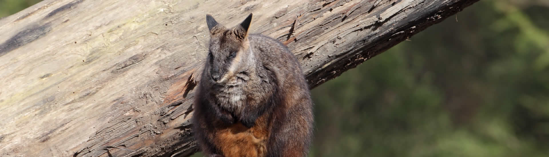 Brush Tailed Rock Wallabies