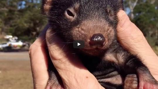 Tasmanian Devil Aussie Ark