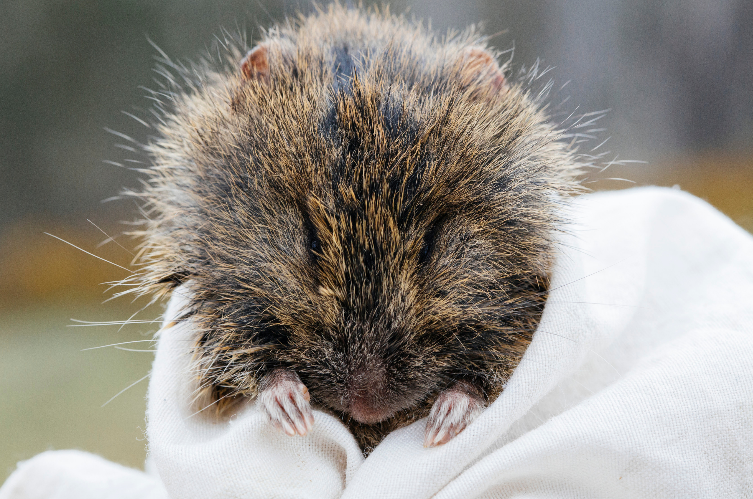 HELP SAVE THE BROAD-TOOTHED RAT!